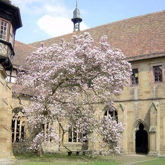 Kloster Maulbronn, Magnolie im Kreuzgarten