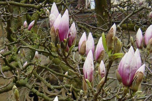 Magnolienblüte im Maulbronner Kreuzgarten